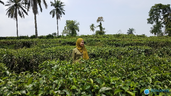 BOH Tea Farm Seri Cheeding