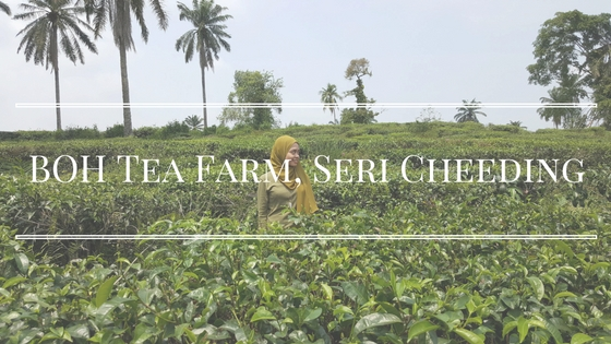 A Visit To BOH Tea Farm, Seri Cheeding